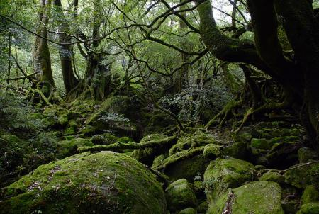 Forest on Yakushima Island in Kagoshima (southern Japan)