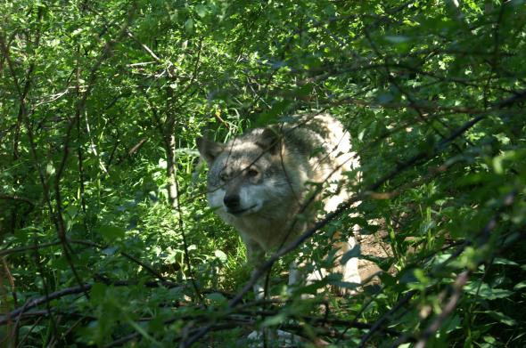 A wolf in the woods of the Carpathians