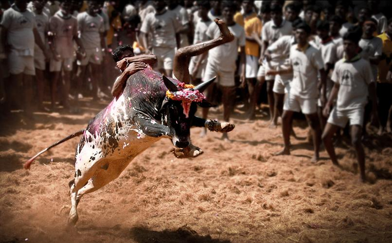 Animal Rights vs  Bullfights: The Horns of an Indian Dilemma