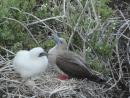 Red footed booby hatchling