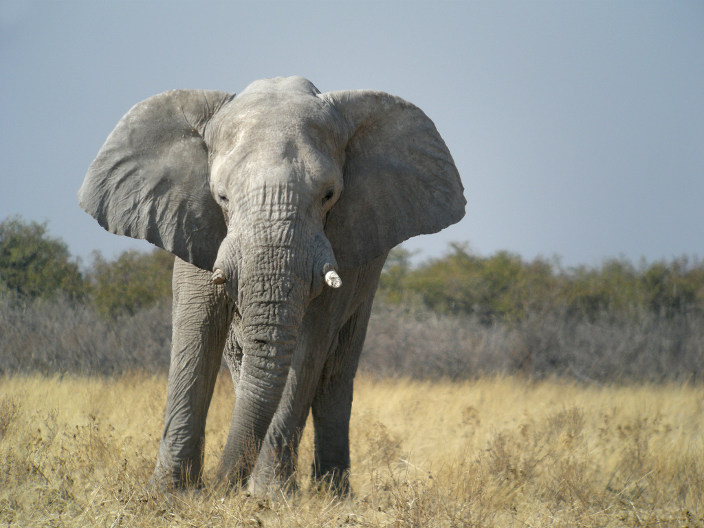 Wildlife conservation causes deforestation in colonial namibia environment society portal - Image elephant ...
