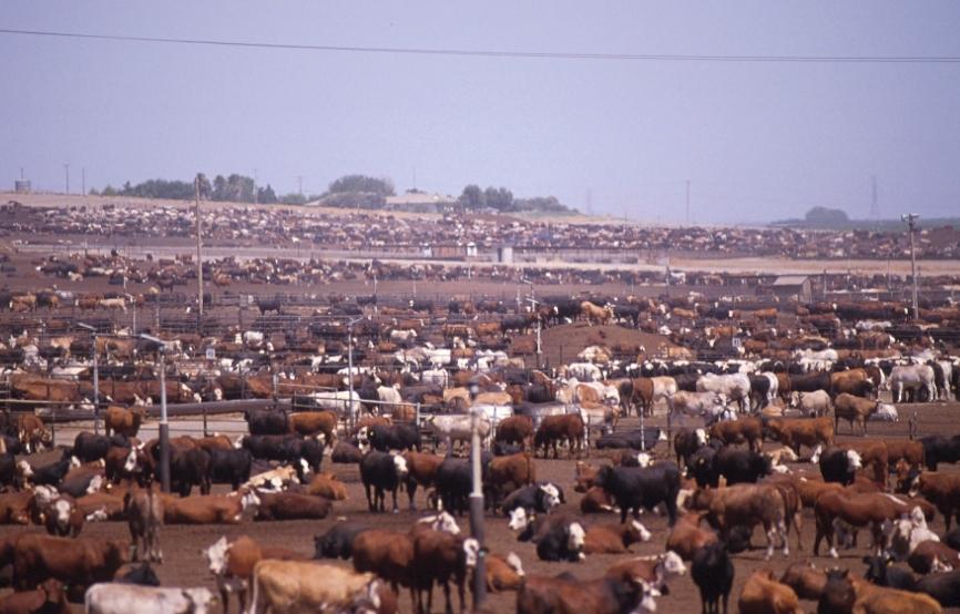 Methane cattle   methane cattle
